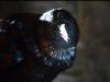 Il corvo